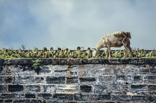 Bermuda goats on roof